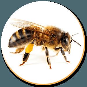 Honey Queen bee